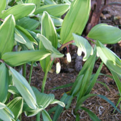 Photo of Solomon's Seal (Polygonatum odoratum var. pluriflorum 'Variegatum')