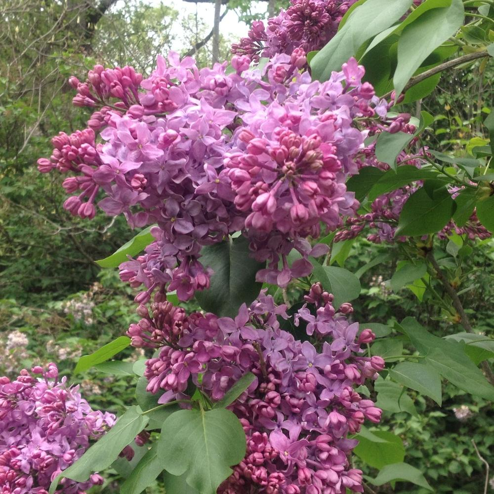 Photo of Common Lilac (Syringa vulgaris 'Capitaine Baltet') uploaded by csandt