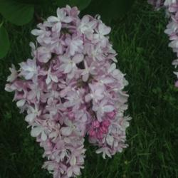 Photo of Common Lilac (Syringa vulgaris 'Mme Antoine Buchner')