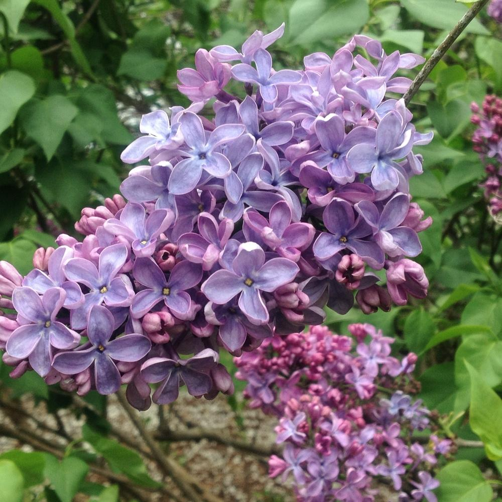 Photo of Common Lilac (Syringa vulgaris 'Priscilla') uploaded by csandt
