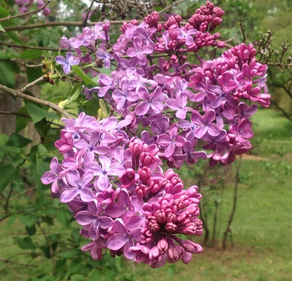 Photo of Lilac (Syringa vulgaris 'Ellie-Marie') uploaded by csandt