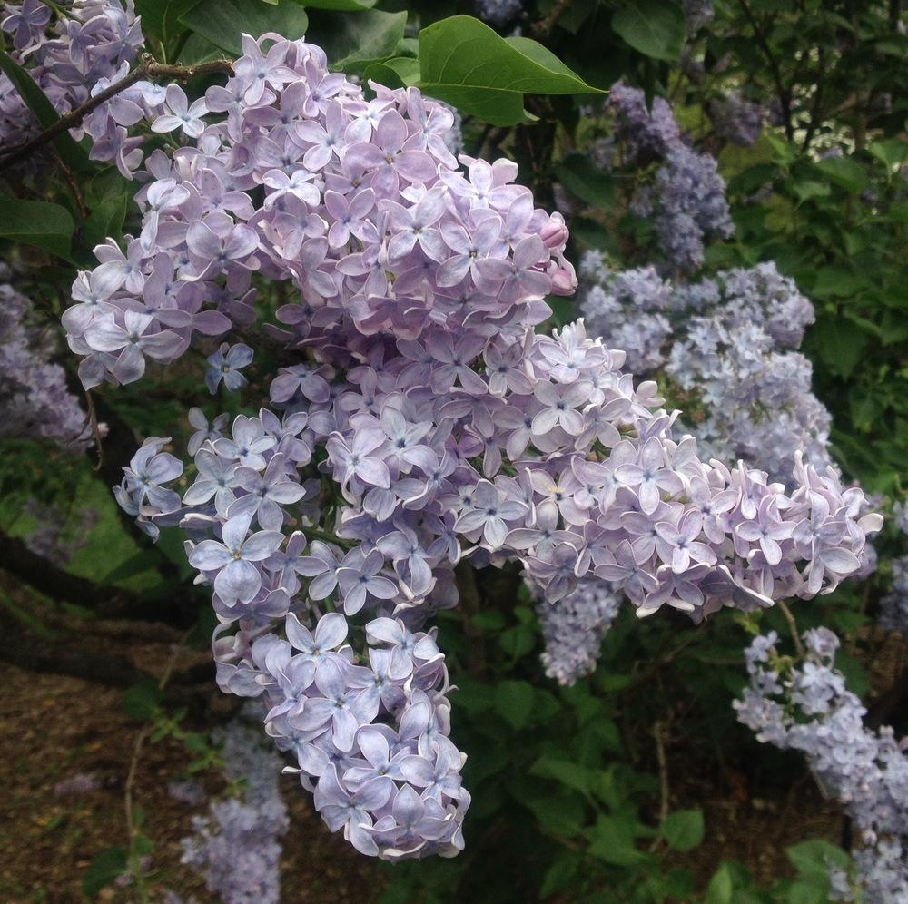 Photo of Common Lilac (Syringa vulgaris 'Firmament') uploaded by csandt
