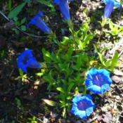 Location: Nora's Garden - Castlegar BCDate: 2016-05-01 2:40 pm. So vibrant a blue, when in the shade.