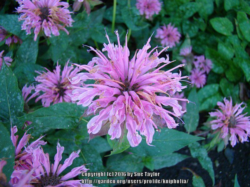 Photo of Firecracker Plant (Monarda didyma 'Croftway Pink') uploaded by kniphofia