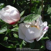 Location: Willamette Valley OregonDate: 2016-04-24Photo taken at Adelman Peony Gardens