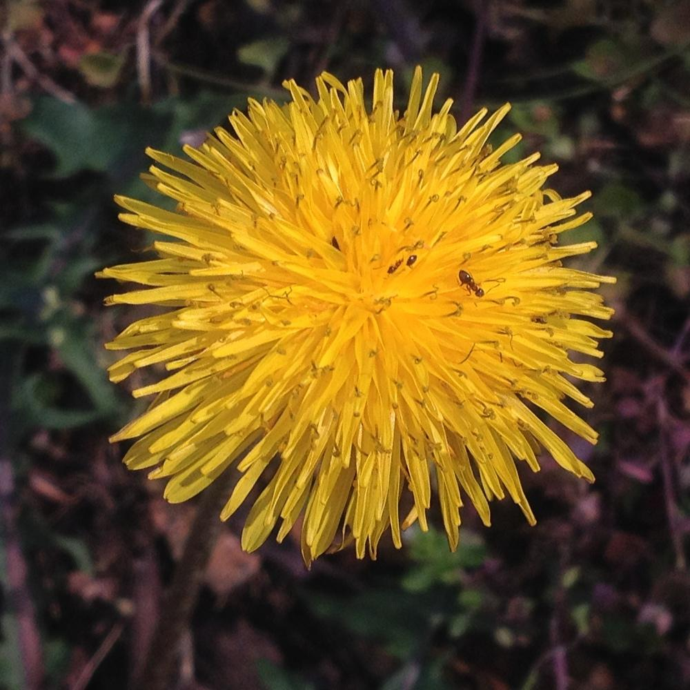 Photo of Dandelion (Taraxacum officinale) uploaded by csandt