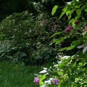 Location: my gardenDate: Summer 2010Dappled shade sets off the dark/light color shades as t