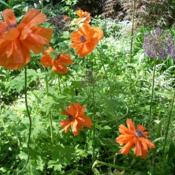 Location: my gardenDate: 2014 MayThis double orange oriental poppy was passed along to me from the