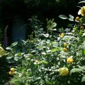 Location: my gardenDate: Summer 2010Rosa 'Graham Thomas' reaches out of shade toward a ray of sunligh