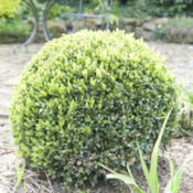 Location: Oxfordshire, EnglandDate: 2016-05-10Topiary box ball