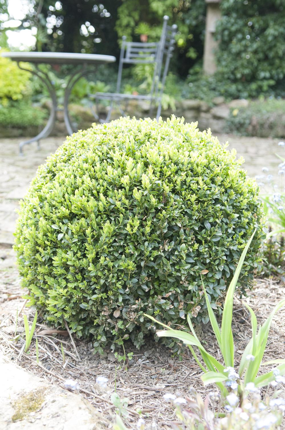 Photo of Common Boxwood (Buxus sempervirens) uploaded by cliftoncat