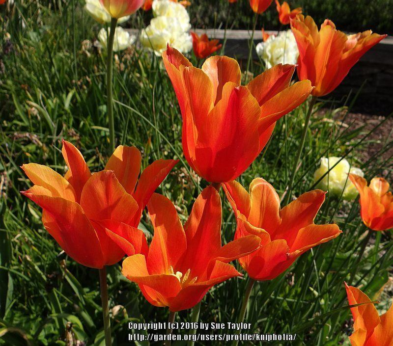 Photo of Lily Flowering Tulip (Tulipa 'Ballerina') uploaded by kniphofia