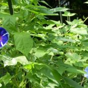 Location: my gardenDate: 2007-08-15Hybrid Morning Glory F2 (vine 38-2/2007 on the left of image) des