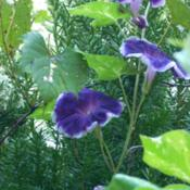 Location: my gardenDate: 2007-09-12Japanese Morning Glory (Ipomoea nil 'Velvet Plum') See my Ipomoea