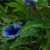 Location: my gardenDate: 2007-08-31Hybrid Morning Glory F1 descended from Gardener_2005's Ipomoea yo