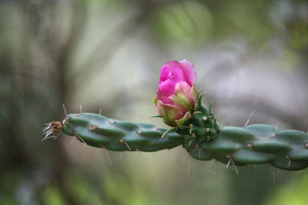 Photo of Tree Cholla (Cylindropuntia imbricata) uploaded by GrammaChar