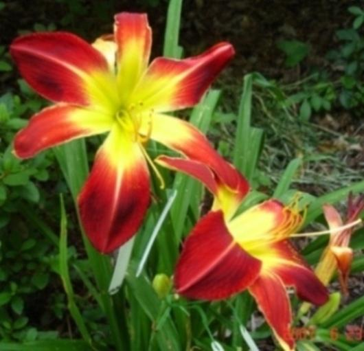 Photo of Daylily (Hemerocallis 'Ruby Spider') uploaded by Sscape