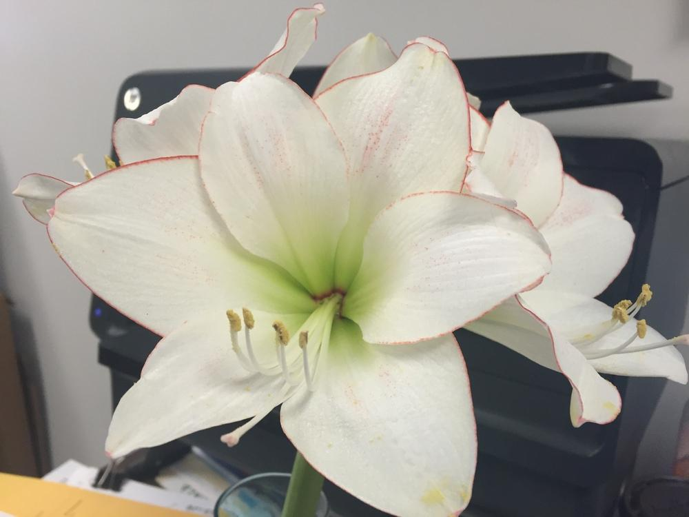 Photo of Amaryllis (Hippeastrum 'Picotee') uploaded by cwhitt