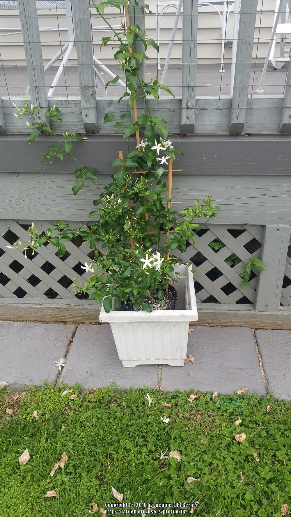 Photo of South African Jasmine (Jasminum angulare) uploaded by JB