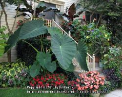 Thumb of 2016-05-14/caladiums4less/3fac3e