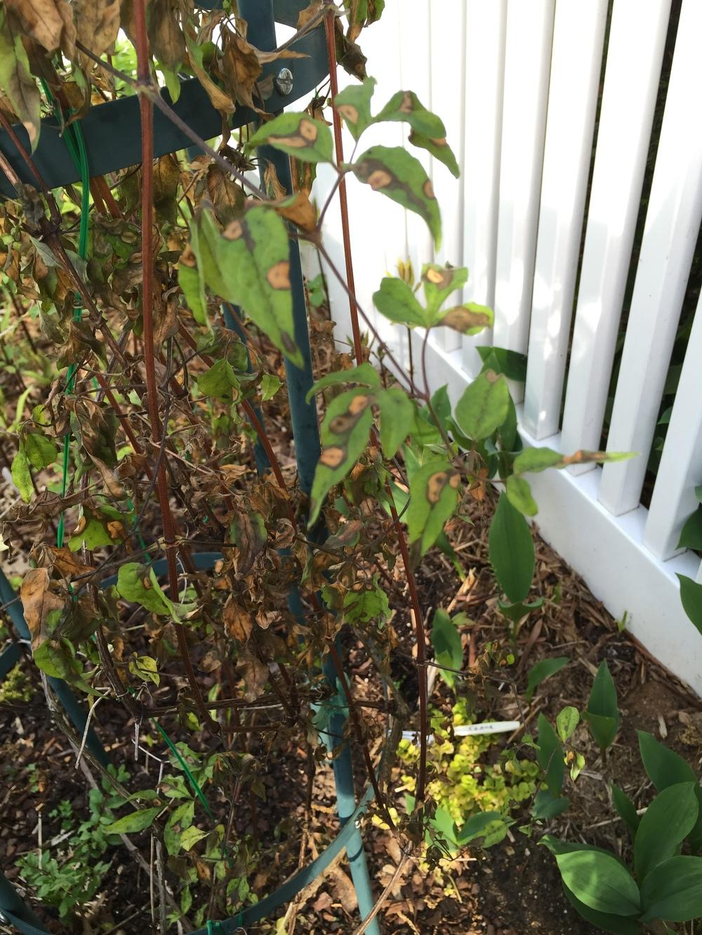 Clematis forum: Can this clematis be saved? - Garden.org