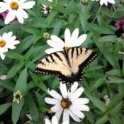 Location: 43016Date: 2014-08-09Yellow Tiger Swallowtail Butterfly visiting  Profusion