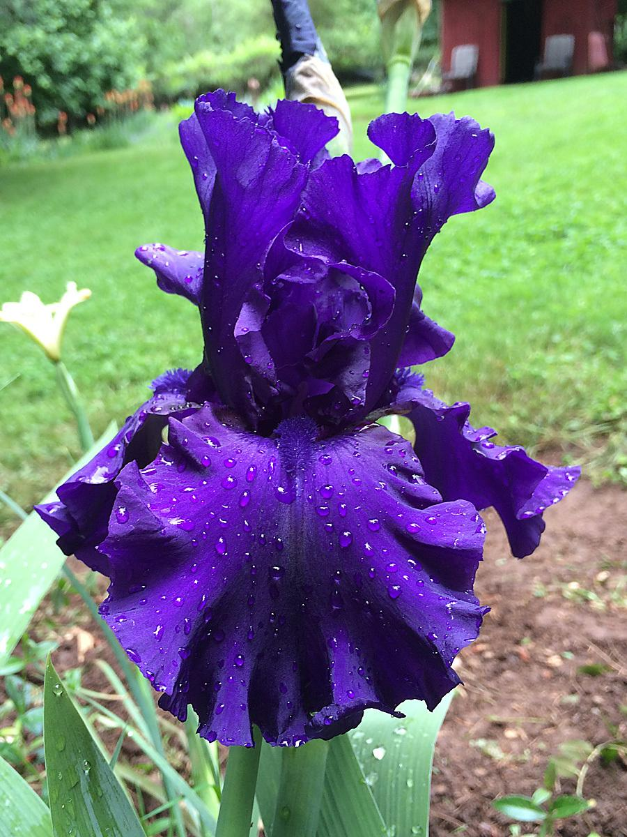Photo of Tall Bearded Iris (Iris 'Dusky Challenger') uploaded by lharvey16