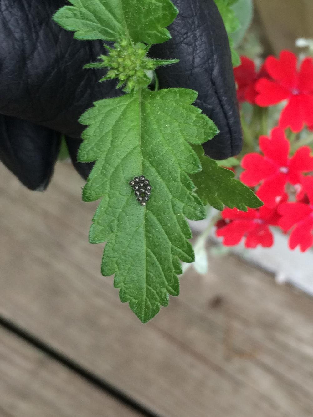 Insect and Bug ID forum: Egg identification please - Garden org