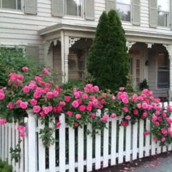 Chemical-Free Japanese/Asian Beetle Control for Roses