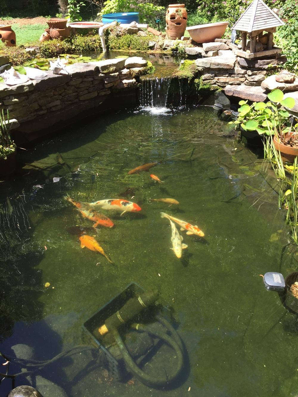 Ponds and water gardening forum help with green pond for Green pond water