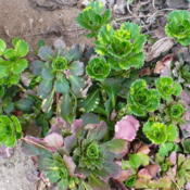 Location: Nora's Garden - Castlegar BCDate: 2016-04-21 3:16 pm. Compact rosettes of variegated green and gold