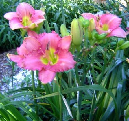 Photo of Daylily (Hemerocallis 'Scottish Fantasy') uploaded by Sscape