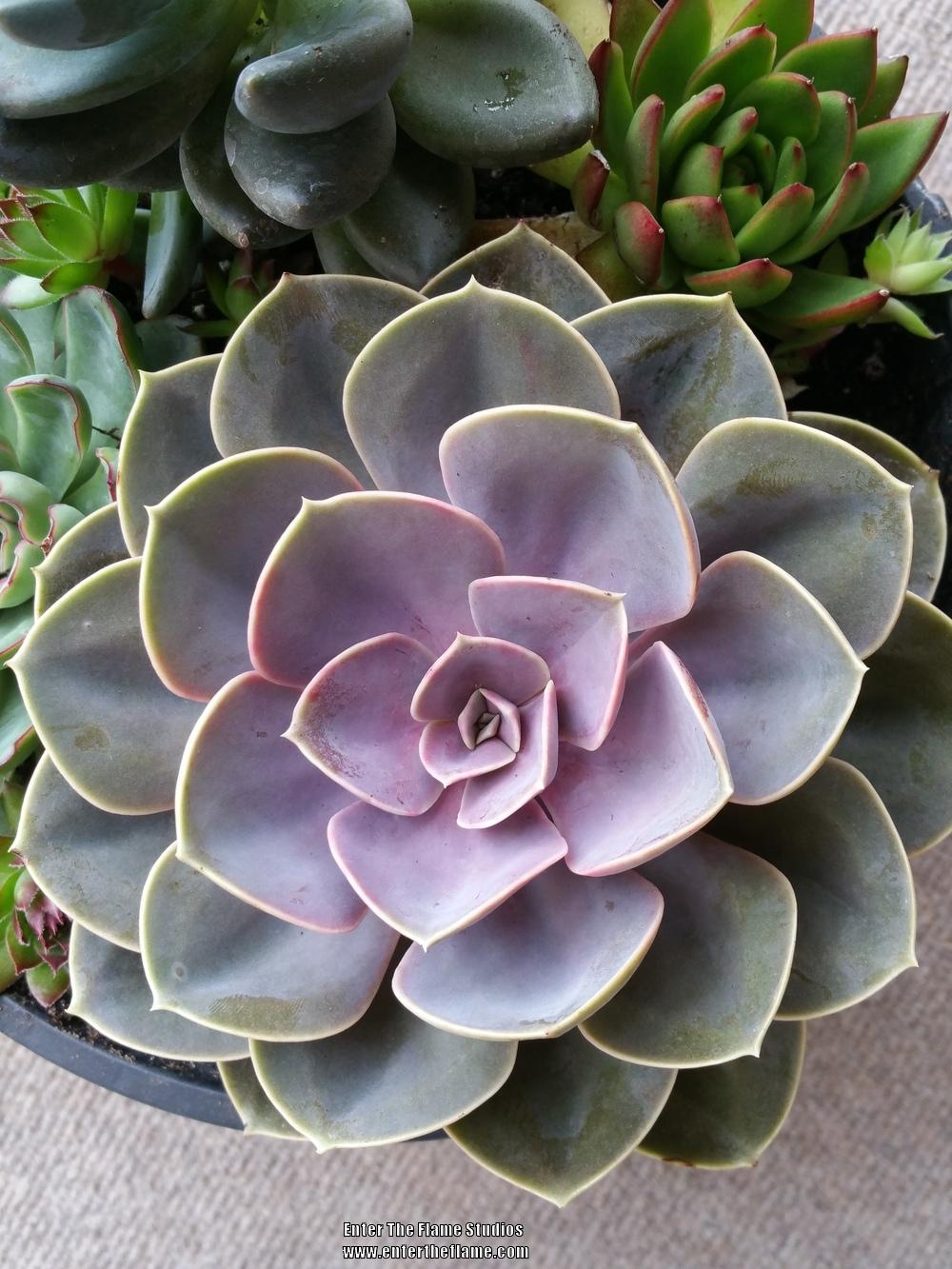 Photo of Echeveria 'Perle von Nurnberg' uploaded by WildSucculentDreams