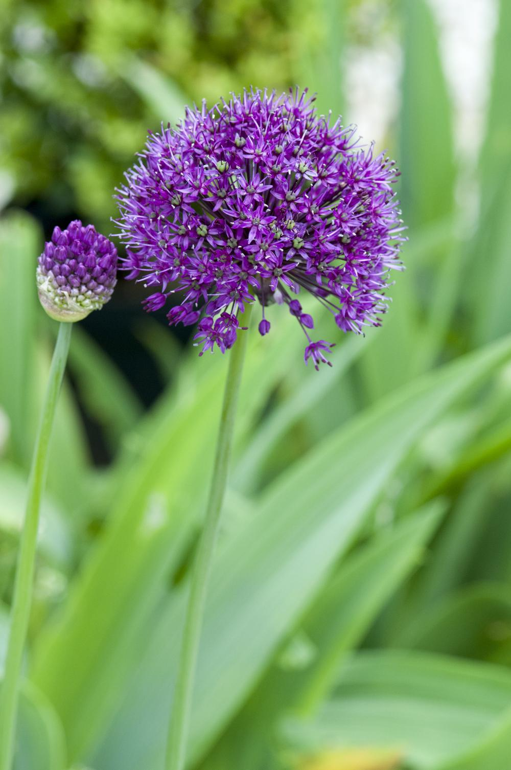 Photo of Flowering Onion (Allium 'Purple Sensation') uploaded by cliftoncat