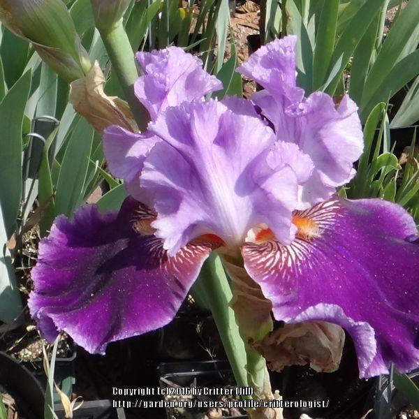 Photo of Tall Bearded Iris (Iris 'About Town') uploaded by critterologist