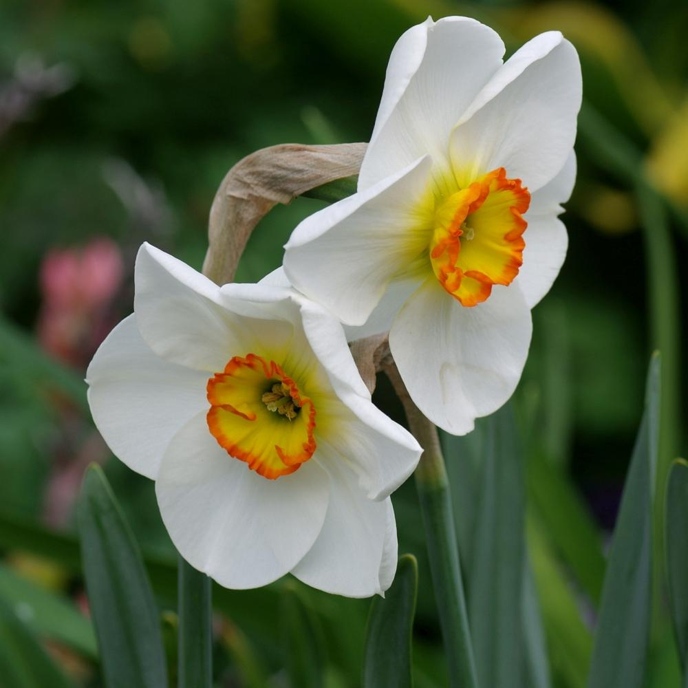Photo of Small-Cupped Daffodil (Narcissus 'Merlin') uploaded by dirtdorphins