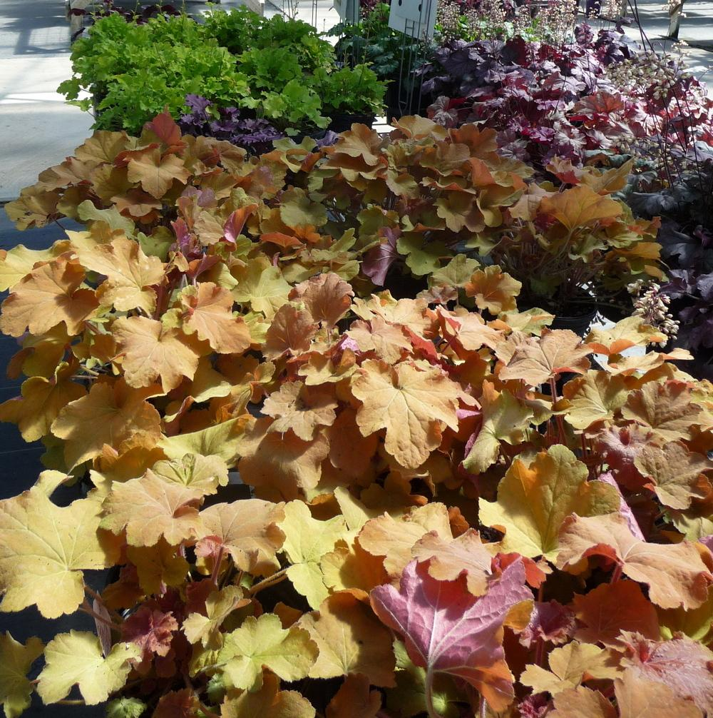 Photo of Coral Bells (Heuchera) uploaded by gardengus