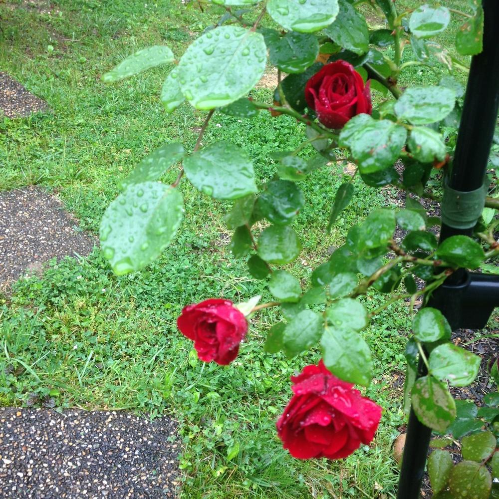 Photo of Rose (Rosa 'Dublin Bay') uploaded by lovesblooms