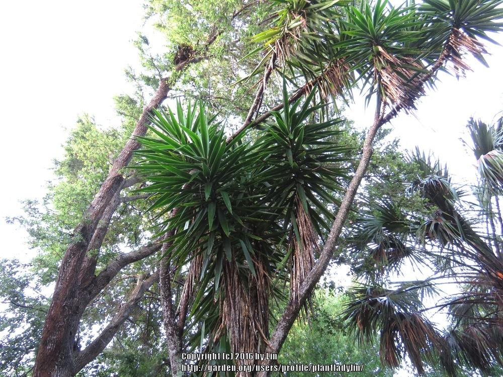 Photo of Spineless Yucca (Yucca gigantea) uploaded by plantladylin