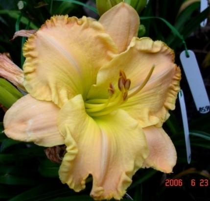 Photo of Daylily (Hemerocallis 'Senegal') uploaded by Sscape