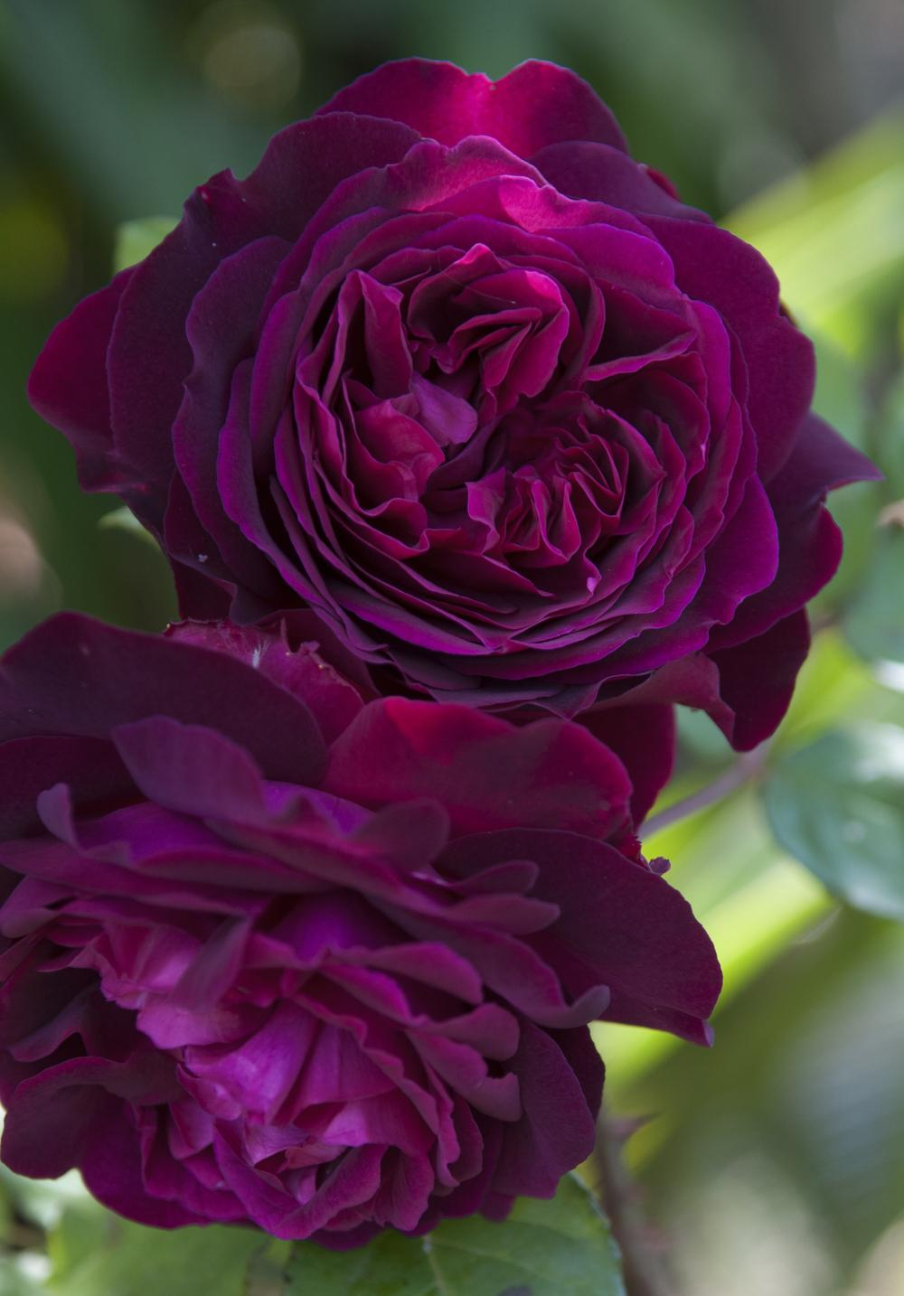 Photo of Rose (Rosa 'Munstead Wood') uploaded by cliftoncat