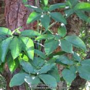 Location: Sebastian, FloridaDate: 2016-05-22Mature leaves
