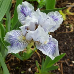Photo of Standard Dwarf Bearded Iris (Iris 'Eye Lines')