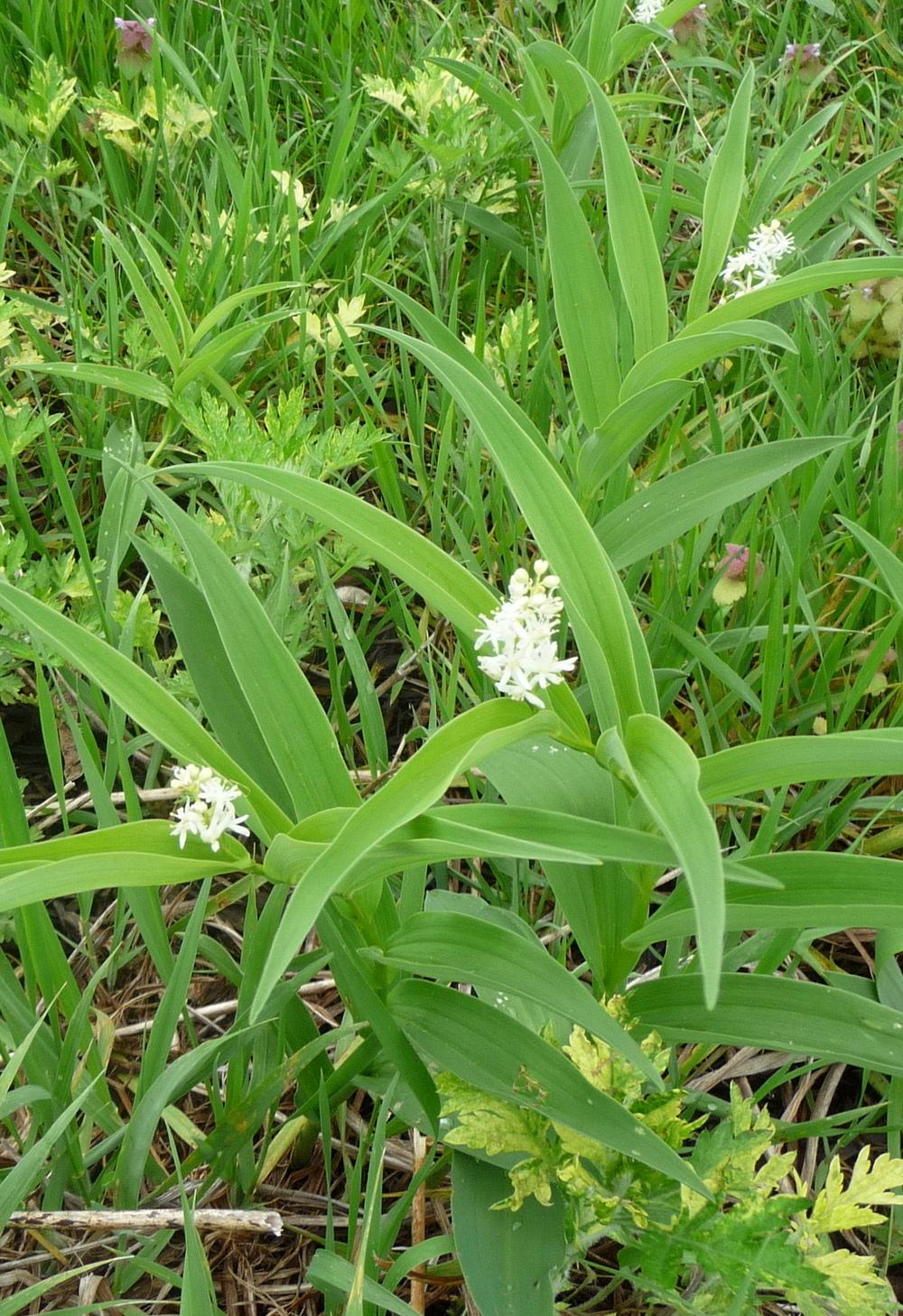 Photo of Maianthemums (Maianthemum) uploaded by gardengus
