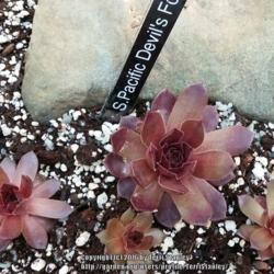 Photo of Hen and Chicks (Sempervivum 'Pacific Devil's Food')