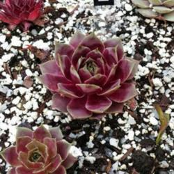 Photo of Hen and Chicks (Sempervivum 'El Toro')