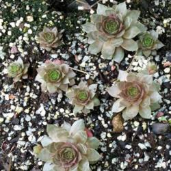 Photo of Hen and Chicks (Sempervivum 'Temby')