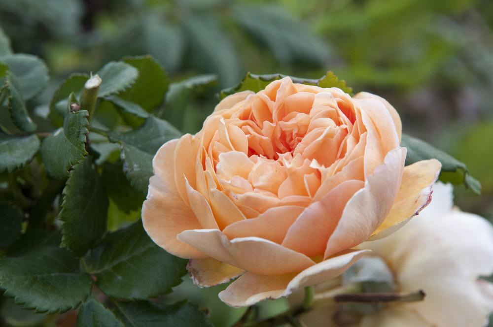 Photo of Rose (Rosa 'Crown Princess Margareta') uploaded by cliftoncat