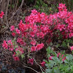 Photo of Evergreen Azalea (Rhododendron 'Silver Sword')