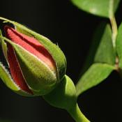 Location: My backyard in Allentown, PADate: 20 May 2016Rose bud shortly after bud break on 20 May 2016.